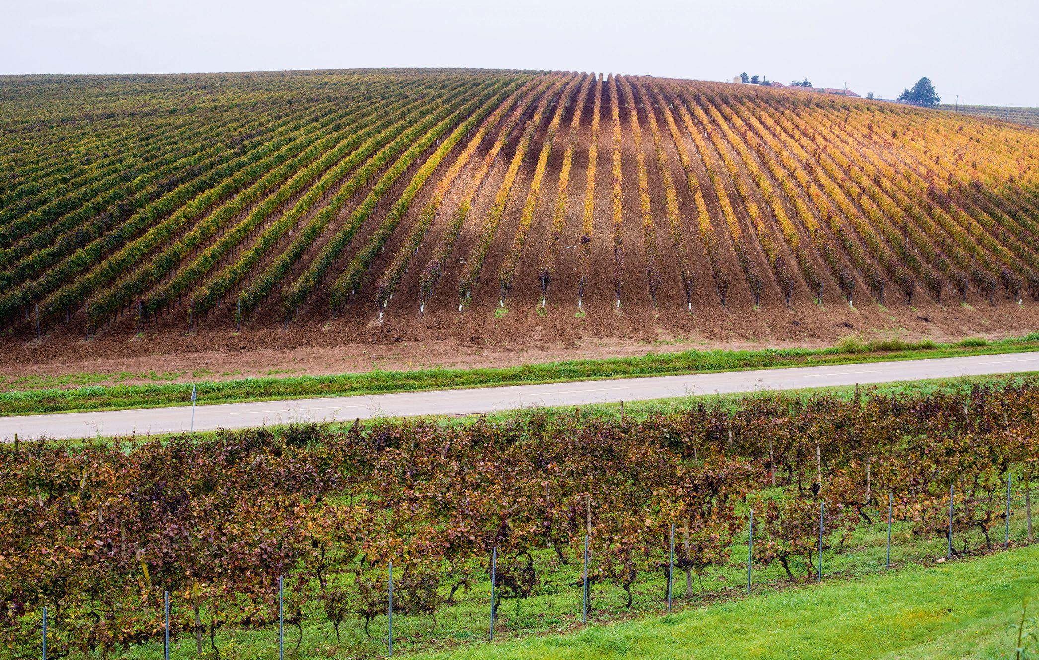 România a ajuns pe locul cinci în Europa din punctul de vedere al suprafeţelor cultivate cu viţă-de-vie