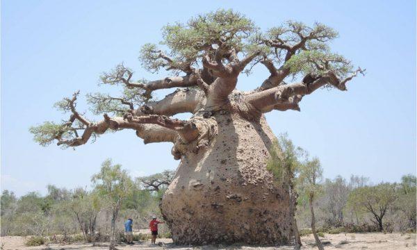 Baobab gravidul