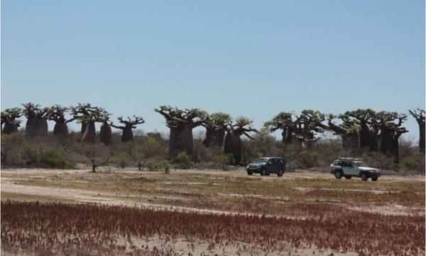 Baobab padure Madag