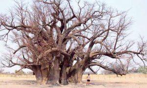 Moartea baobabului bătrân