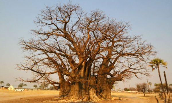 Namibia, Baobabul Reginei