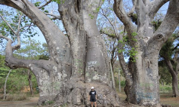patrut baobab