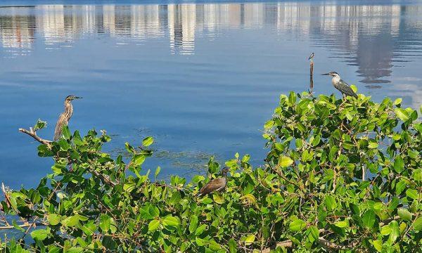 Pasări laguna din Rio